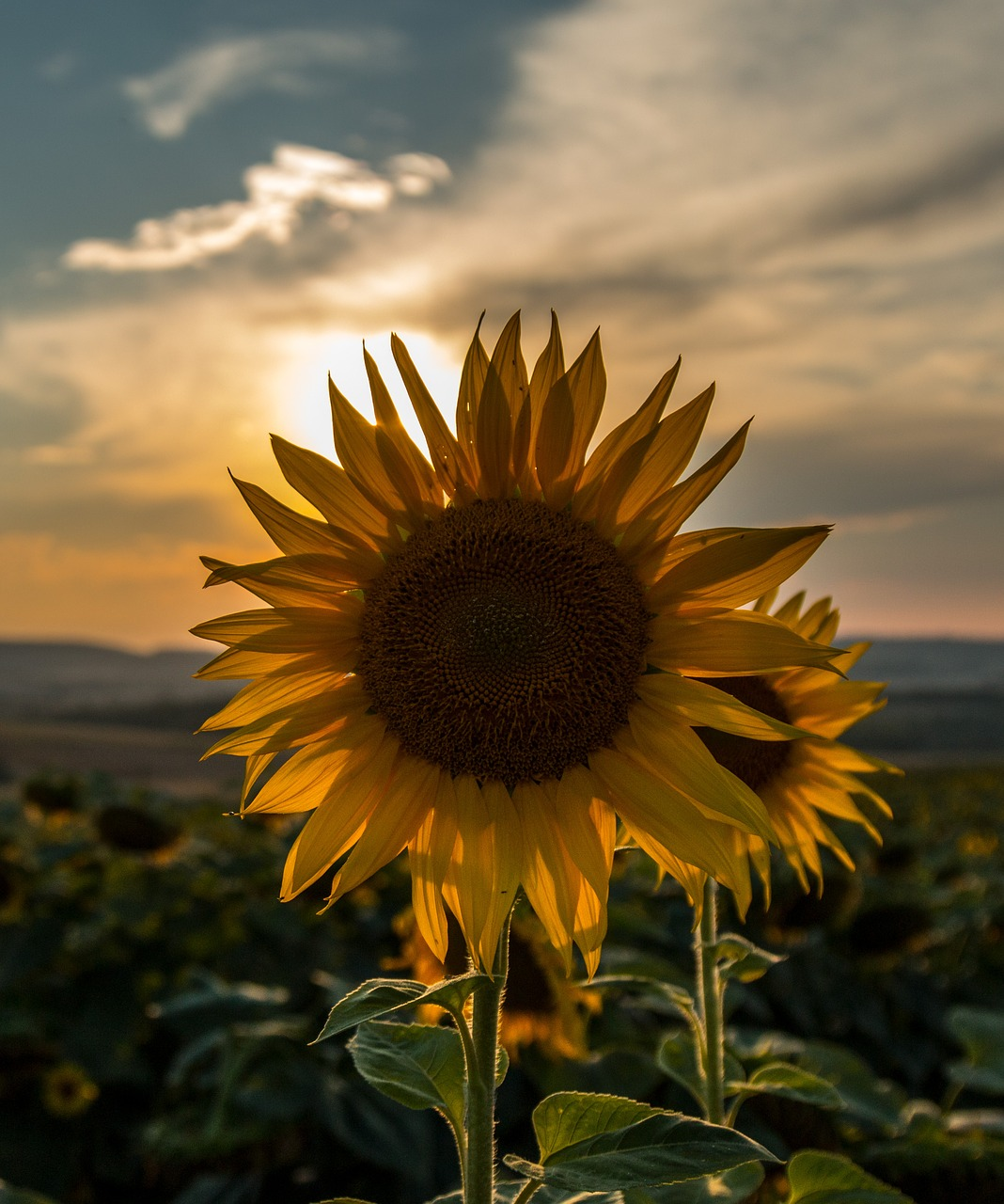 sunflower-3758190_1280